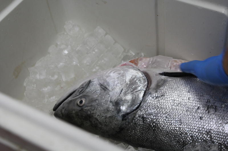 This year's commercial salmon season is the shortest it has been in the past 7 years.