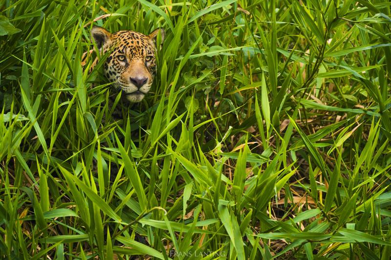 Jaguar hunting in Brazil