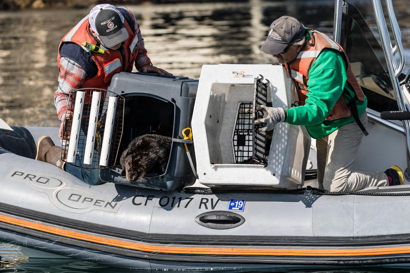 Langly the sea otter is released into the Monterey Bay.