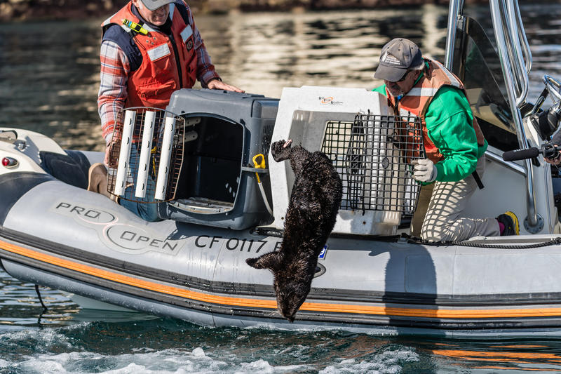 Sprout the sea otter who bonded with Langly is released into the Monterey Bay.