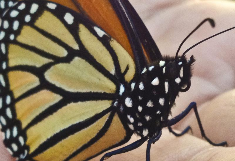 Monarch wings could answer the question: where are Western Monarchs born?