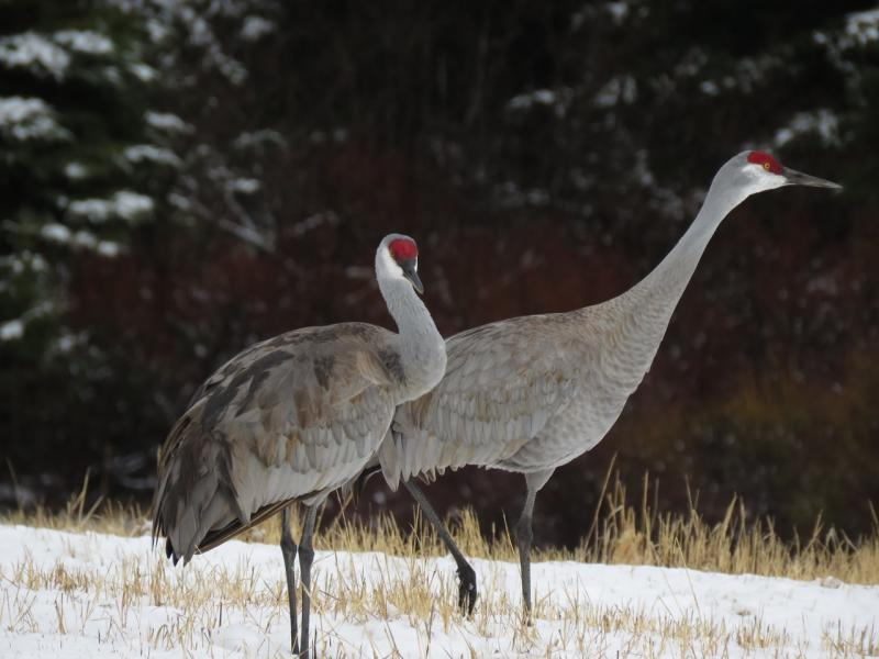 Two Lesser Sandhill Cranes pose for Kachemak Bay photographers.