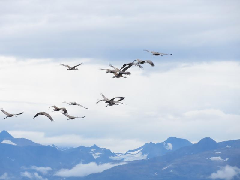 The Lesser Sandhill Cranes migrate between Alaska and California every year.