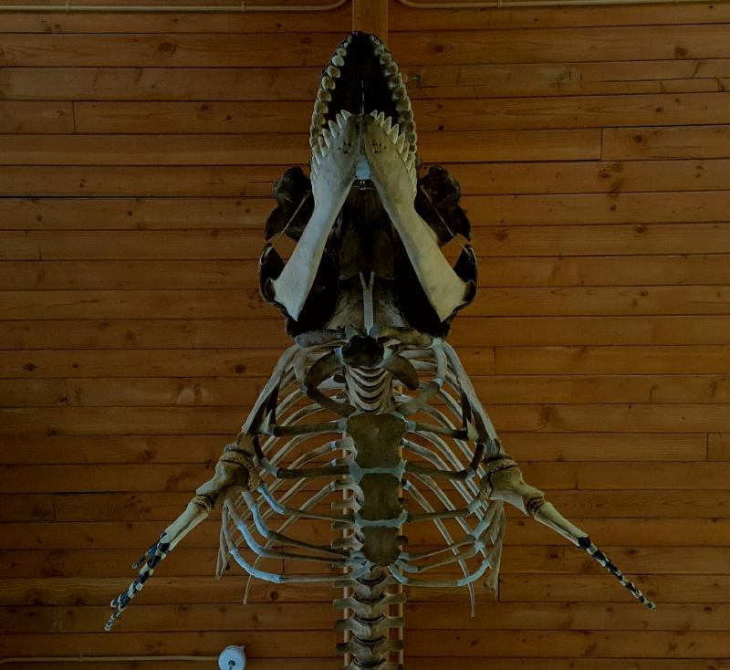 The finished skeleton now hangs in the atrium of Kachemak Bay Campus of Kenai Peninsula College in Homer, AK.