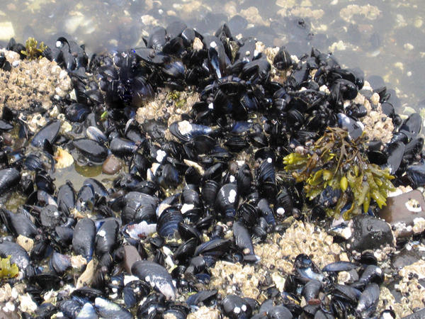 Blue mussels on a beach in Akutan, a village in the Aleutian Islands in southwest Alaska.