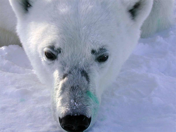 Facial lesions found on a polar bear in a survey of the Beaufort Sea off Alaska in 2012.