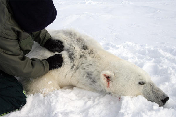Hair loss on shoulder and side of polar bear found off the coast of Alaska during a survey of the Beaufort Sea in 2012.