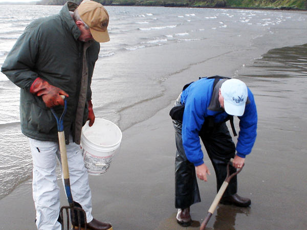 Ray LaMonde, with the University of Alaska Marine Advisory Program, (with unidentified second person) digs for samples on a beach in the village of Sand Point in the Aleutian Islands.