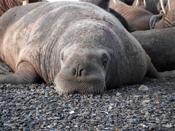 A young walrus with skin lesions at Point Lay, Alaska, on the Chukchi Sea. First noted in Alaska in 2011, thousands of marine mammals in Alaska and Russia are sick or dead from a disease that causes skin lesions and fur loss. The cause is unknown.