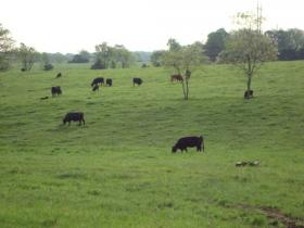 Cows at MU Farm