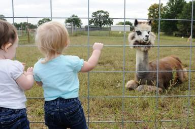 From left, Khloe and Karli Landis (CQ), 19-month-old twins, investigate a male alpaca on the farm at Mid Missouri Alpacas on Sept. 24, 2011.