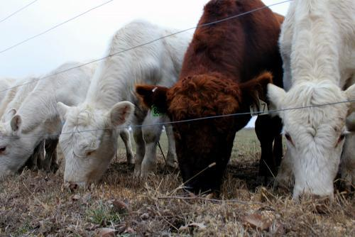 Cows on Sally Angell's farm in Missouri eat feed without antibiotics.