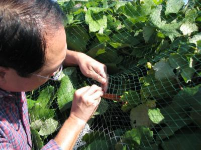 Dr. Chin-Feng Hwang checks on a cluster of grapes that is a crossbreed between the disease-resistant Norton and Cabernet Sauvignon grapes.