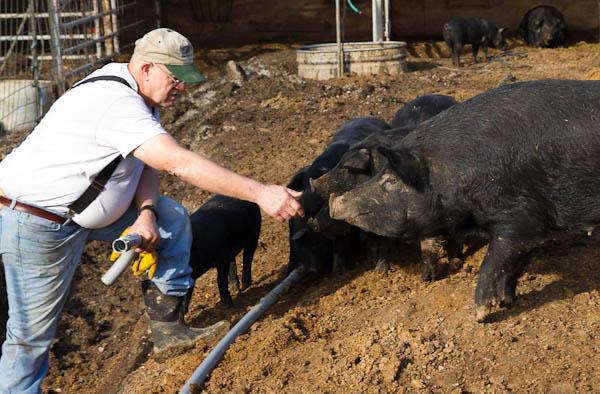 Art Gelder with his Missouri mulefoot hogs.