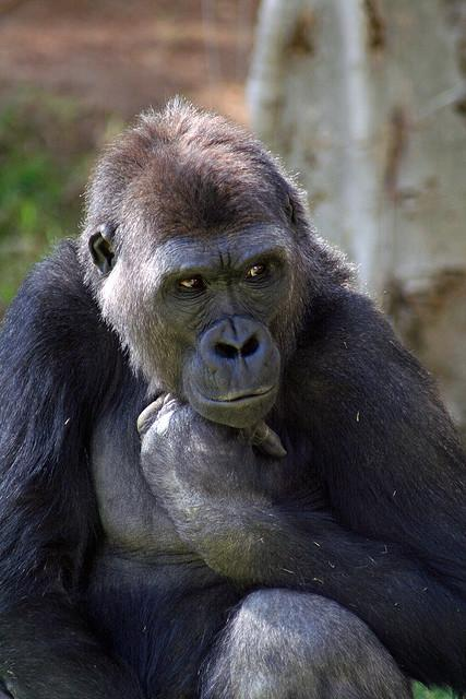 A gorilla at the Wild Animal Park in Escondido