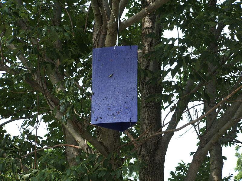 A purple trap used for a U.S.-government-sponsored nationwide emerald ash borer tracking program.