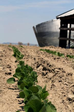 Soybeans planted in previously flooded areas near the Missouri River in Atchison County, Mo., poke up through the silt.