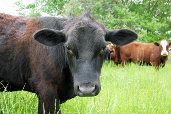 Boeckmann incorporated his all-natural grass-fed beef operation this year and is selling under his Boeckmann Family Farms label to local customers, restaurants and groceries.