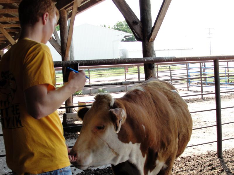 One of the 4h youths taking the respiration rate from a cow at MU's South Farm.