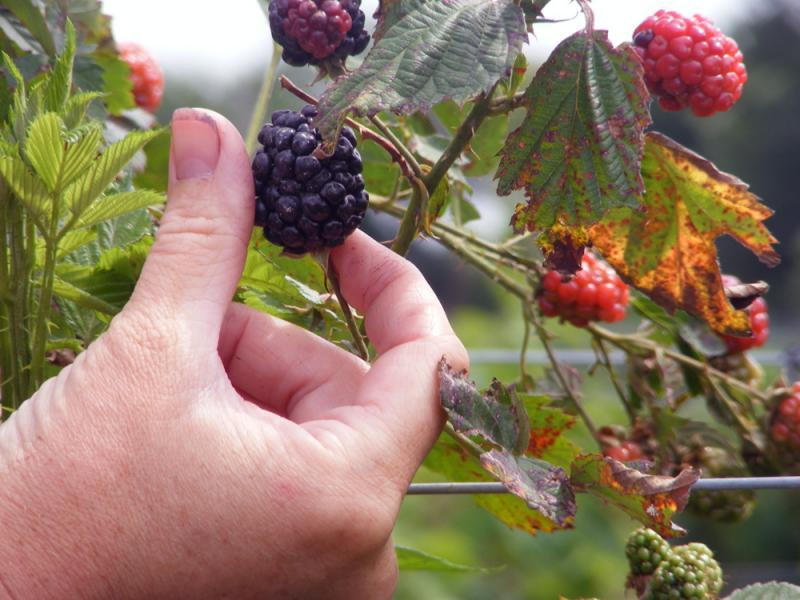 U-pick blackberry