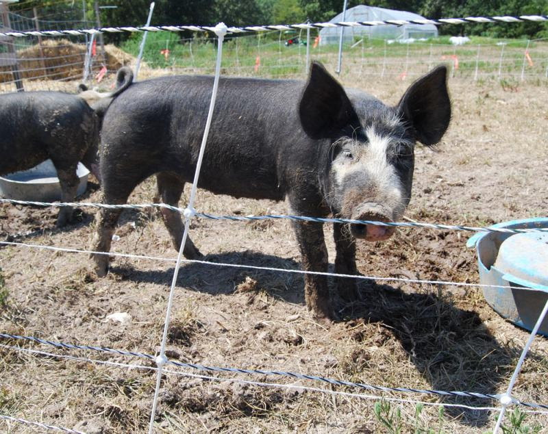 The Pughs were hoping their three Berkshire pigs would be able to help them plough up some of the ground to extend the boundaries of their garden. But it's been so dry the pigs haven't been able to burrow much.