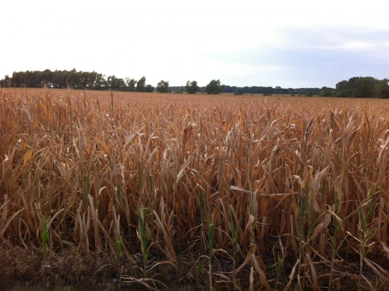 A parched corn field in Cass County, Illinois.