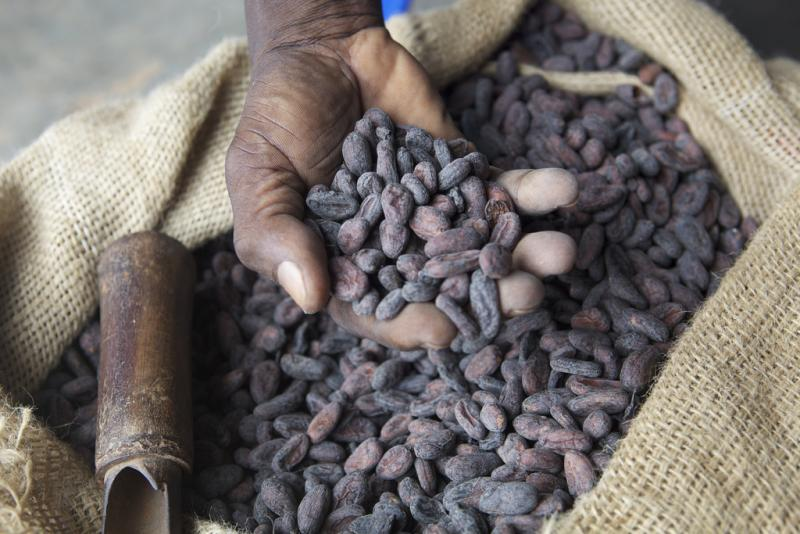 A farmer holds dried cocoa beans in his hand.