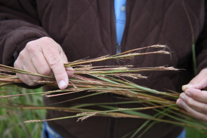 Big blue stem is one type of native grass farmers are growing on marginal land in the central U.S. for biofuel.