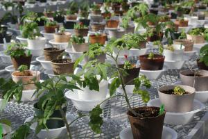 These tomato and salvia plants are growing in bio-renewable pots in a greenhouse at Iowa State University, which received a grant through the Farm Bill to study replacements for petroleum-based plastic pots.