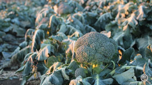 A head of broccoli ready to be picked in late November at Jones Produce near Crete, Neb.