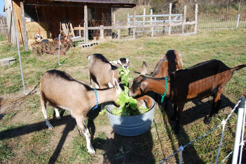 Chert Hollow Farm's four dairy goats dig into some certified organic lettuce heads.