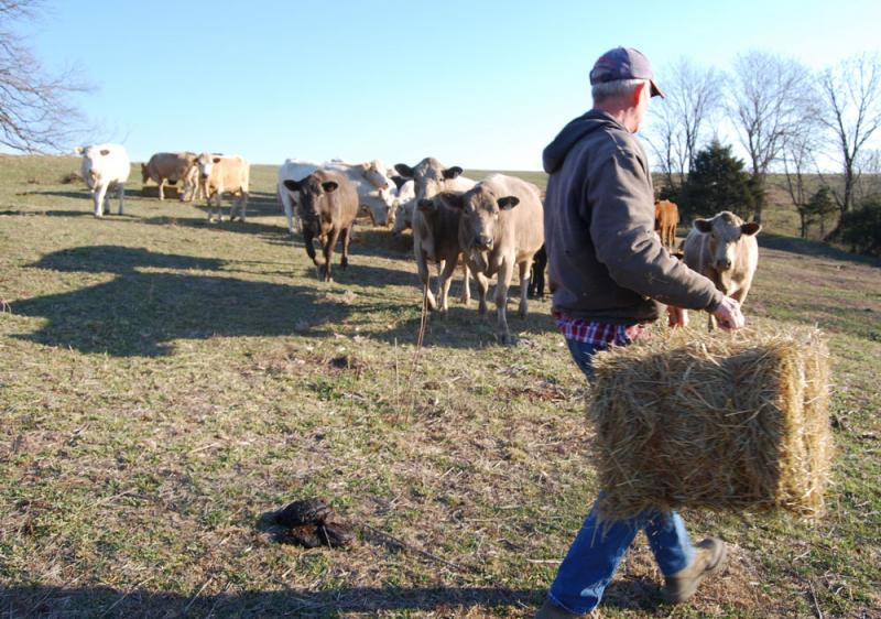 Rancher John Rice, who owns JJR Family Farm, feeds a non-organic square bale of hay to his Charolais and Limousin cows.