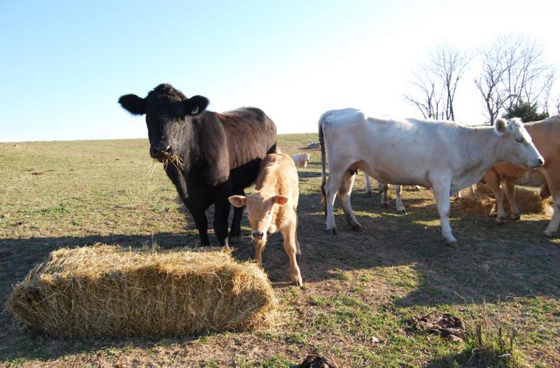 The JJR Family Farm cows still enjoy many of the benefits of being raised organically – like grazing in open pasture – but they are not certified organic.
