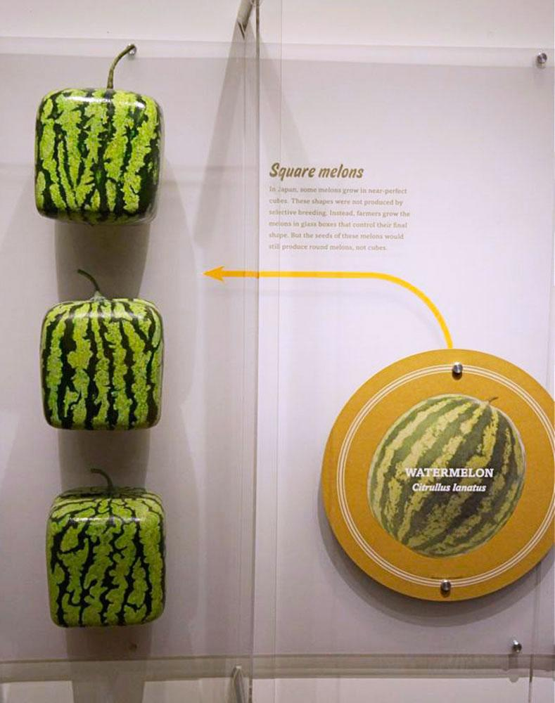 In Japan, farmers have transformed the spherical look of a watermelon by growing them in square glass boxes.