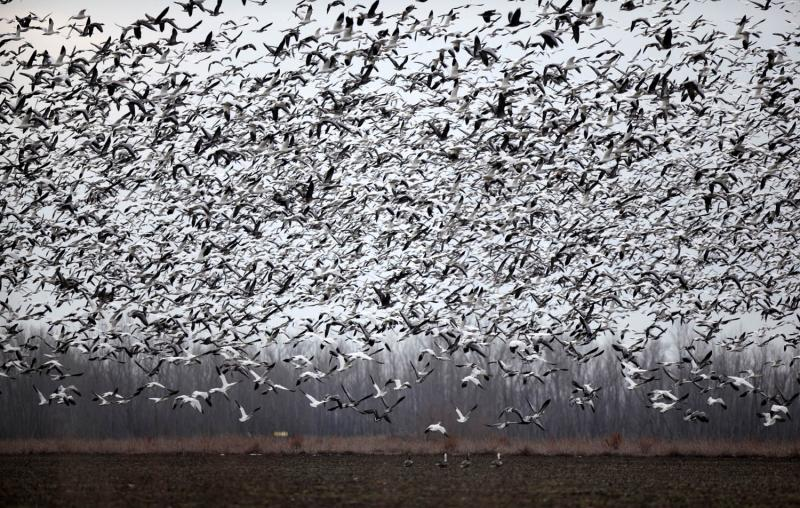 Birds flock at the 4,400-acre Eagle Bluffs Conservation Area.