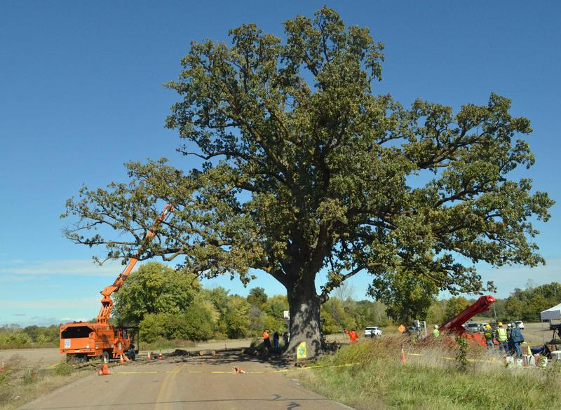The Big Tree, a 300 year old Bur Oak, has become a Mid-Missouri landmark.