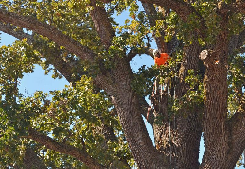 Arborists care for the Big Tree by cutting dead limbs out of the canopy south of Columbia on Tuesday, Oct. 22.