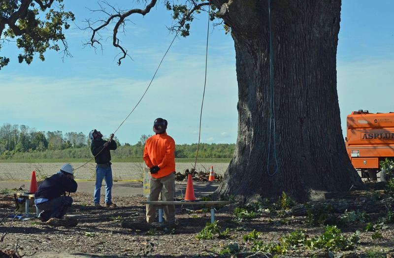 Arborists waited at the bottom of the Big Tree as dead limbs were sawed off on Tuesday, Oct. 22, south of Columbia, Mo.