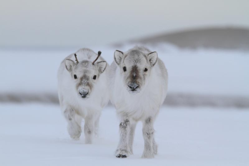 Two Svalbard reindeer calves (Rangifer tarandus platyrhynchus), an endemic subspecies found only in the archipelago, eke out an existence in the Arctic spring, grazing on lichens and moss exposed by fierce winds.