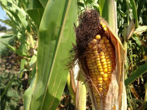 Farmers received some gloomy news from the US Department of Agriculture earlier this month -- that lower corn prices are here to stay.