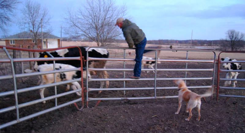 Donnie Davidson clambers over a fence to greet the last animals in his herd.