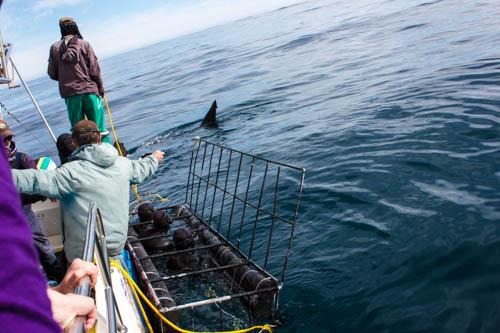 A great white shark appears on the port side of the expedition vessel, The White Shark. Up to five people wearing wetsuits can fit into the cage in the foreground, which is lowered into the sea, allowing close-up encounters with great whites.