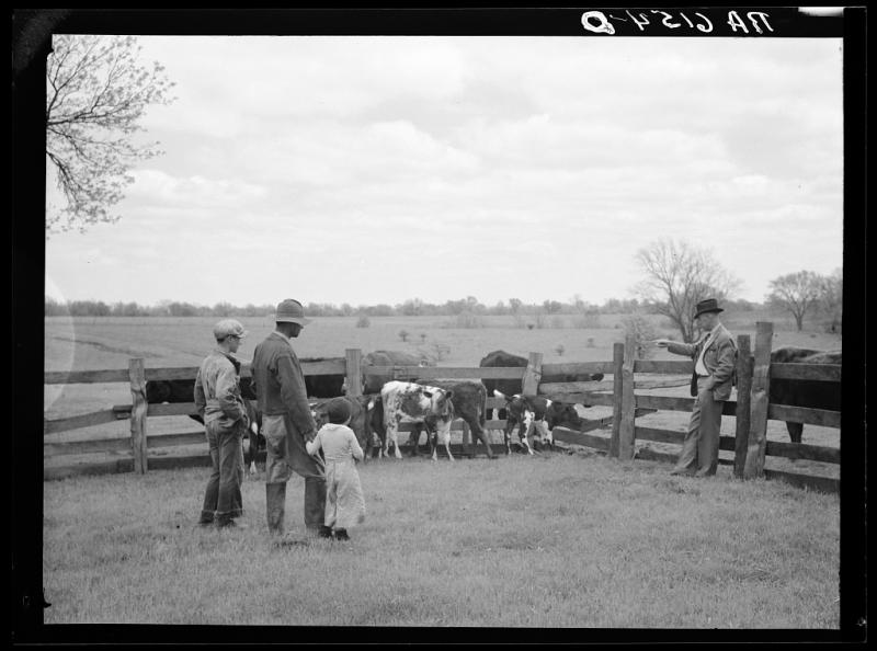 Rehabilitation Administration supervisor Keller pointing to calves born from cows purchased with rehabilitation loan to Mr. Wilks. Callaway County, Mo. (May 1936)