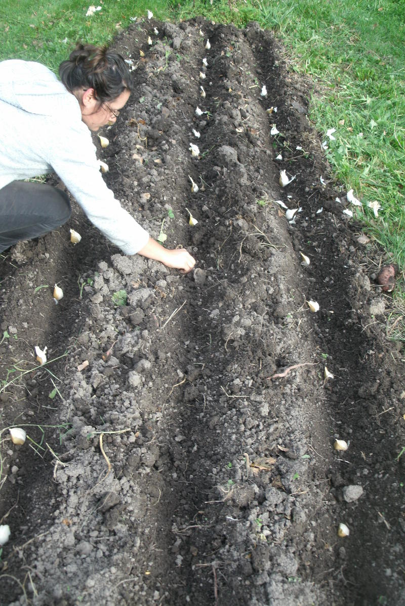 Carrie planting garlic. The larger elephant garlic variety requires more space than does most smaller garlic bulbs.