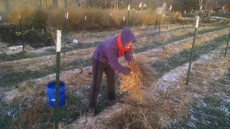 Adding a mulch such as straw to your garden protects soil-dwelling organisms and reduces erosion during the winter.