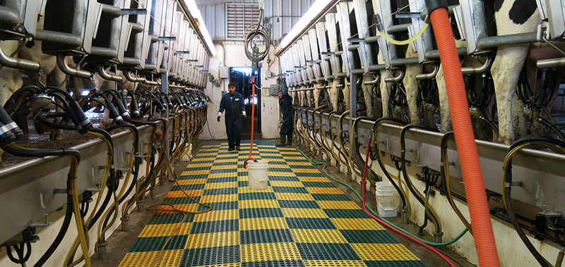 Cows to be milked