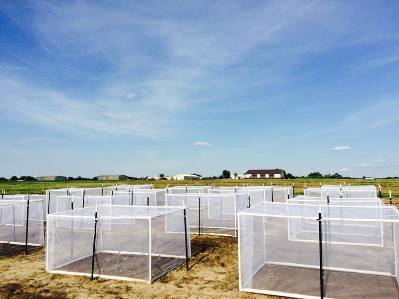 Cages are set up to monitor and trap field insects for study