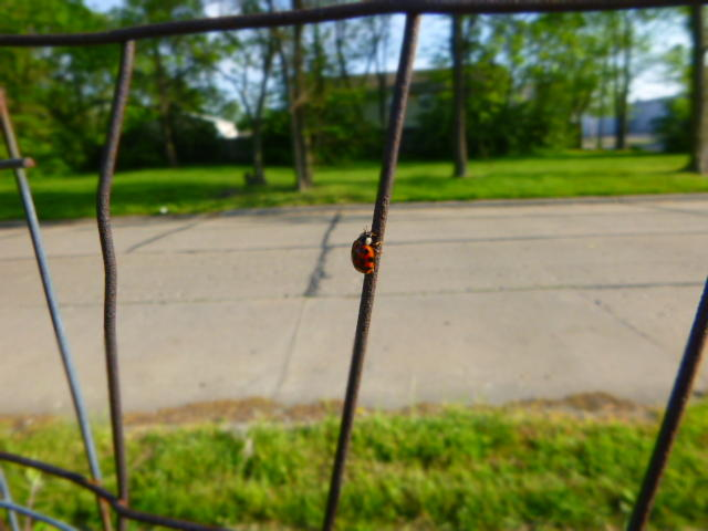 Ladybugs are beneficial insects that you might see in your garden.