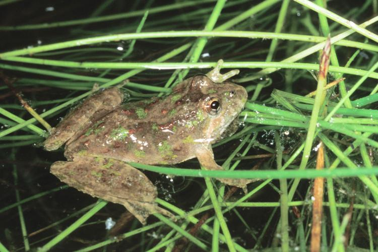 The northern cricket frog can appear in a variety of colors from grey to tan to greenish-tan to brown, with a white belly. Its metallic call resembles the sound of pebbles being rapidly struck together.