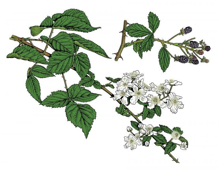 Blackberries are ripening in Missouri's woods right now. Look for them in rocky, open woods, along bluffs and fencerows, on glades and in thickets, old fields, and open valleys.